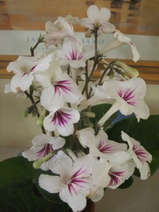Streptocarpus Grace